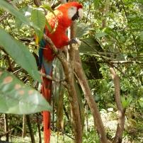 11/08/2016 - Sacha Yacu - Ara rouge (macaw)