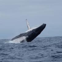 21/08/2016 - Puerto Lopez - Baleine à bosse