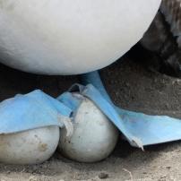 22/08/2016 - Puerto Lopez - Fou à pattes bleues de la Isla de la Plata